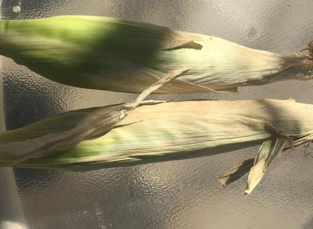 Garden Fail: Corn catastrophe