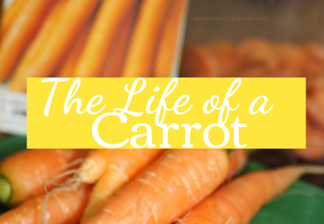 The Life of a Carrot: Sow to Harvest