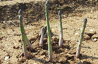 Guelph-Millennium-Asparagus.png