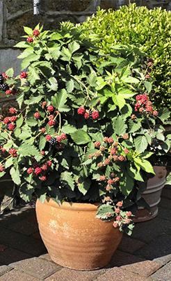 tinyblack-patio-plant.png