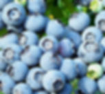 Nelson blueberry