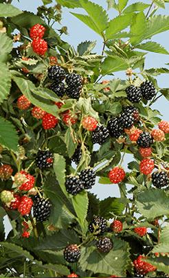 ouachita-plant.png