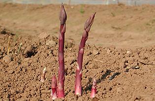 Burgundine Asparagus