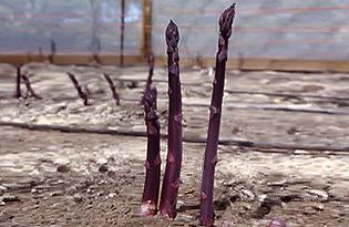 Pacific Purple Asparagus