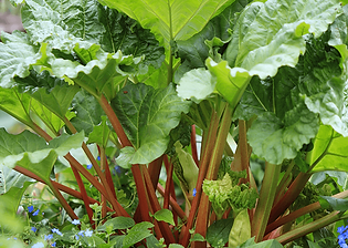 goliath-rhubarb.png