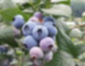 Elliott blueberry