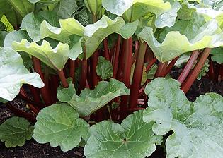 livingstone-rhubarb.png