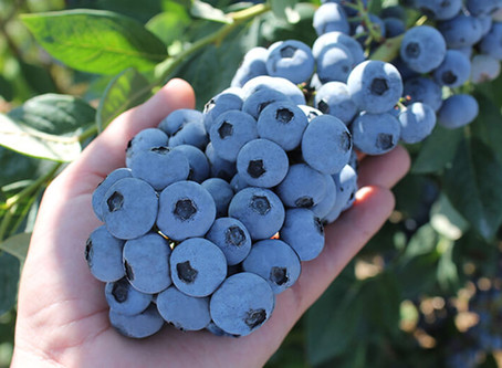 Plants365 Ltd becomes a supplier for two new blueberry varieties