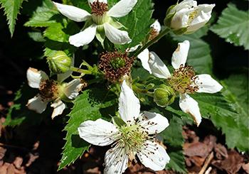 tinyblack-flowers.png