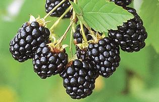 navaho-blackberry.png