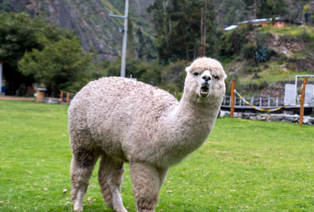 A friendly Alpaca having funny 5 minutes!
