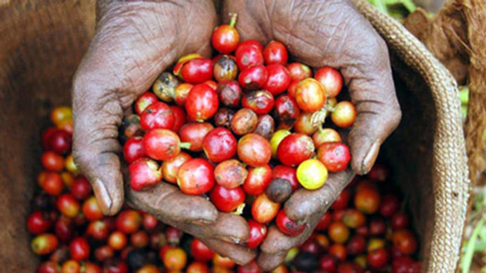 Peaberry Coffee Cherries From Malawi