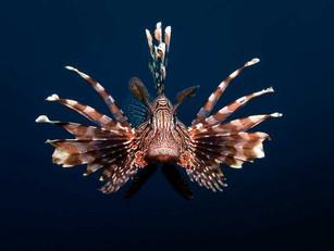 1469021099_lionfish-invade-6.jpg