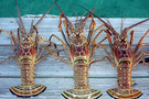 spiny lobster.jpg