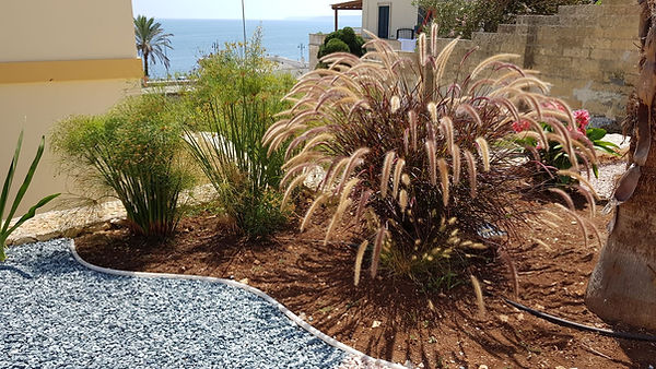 giorgio pennisetum.jpg