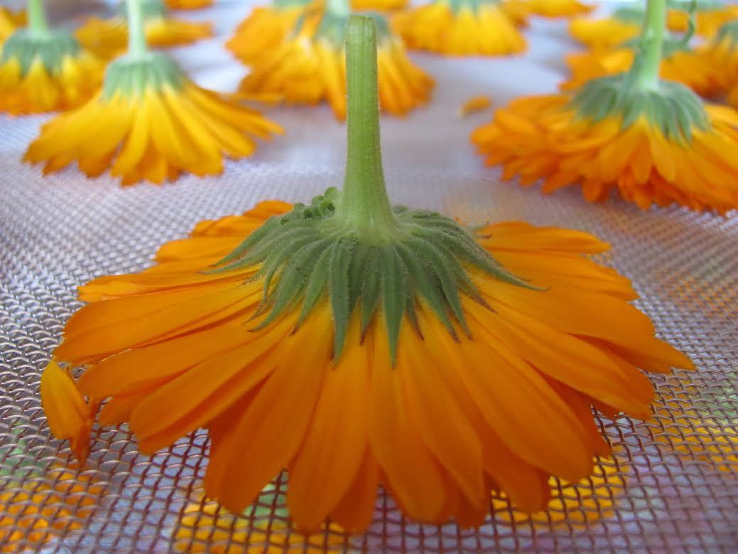 Calendula www.vivherbes.com