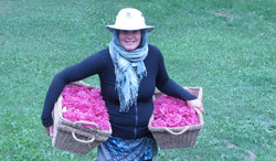 Cueillette de rose www.vivherbes.com