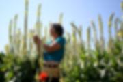 Notre herboriste en pleine cueillette de fleurs de molène (Verbascum thapsus)