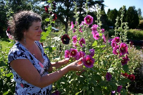 Cueillette de rose trémière (Alcea rosea)