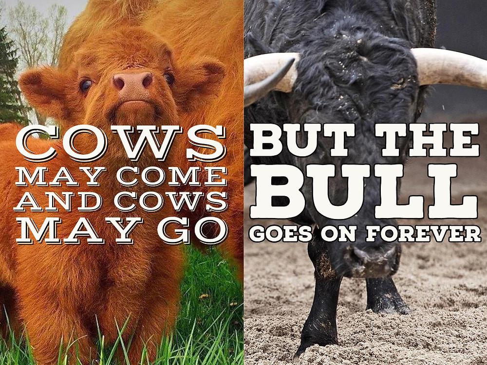 Cows + bull