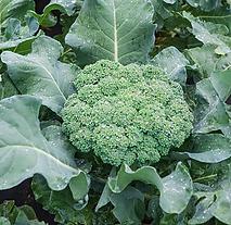 Broccoli .png