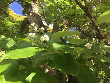本日、営業します&境内のまるばちしゃが咲き始めています。