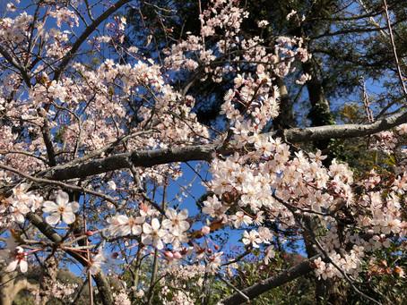 境内に次々と春が・・・