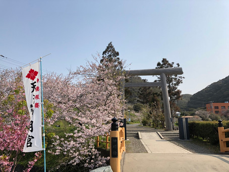 桜、咲いてます。