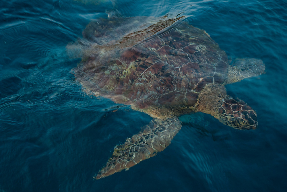 Turtle submerged under the clear blue ocean