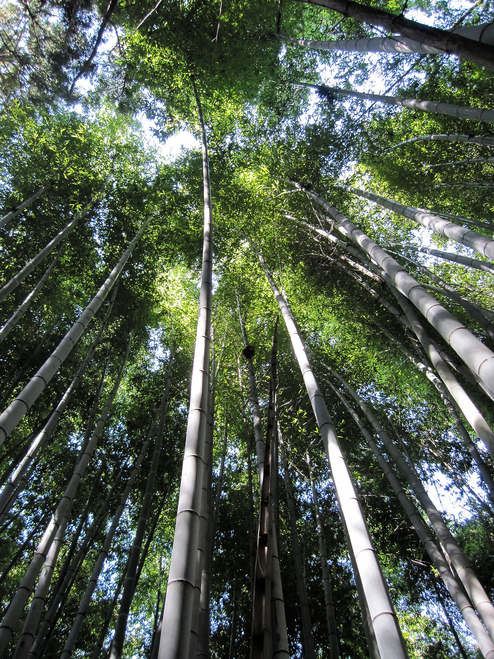 Japanese bamboo rising into the sky