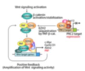 PAF in Wnt/beta-catenin signaling