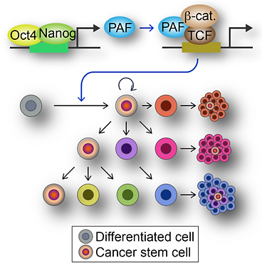 PAF-Wnt signaling-induced cell plasticity in breast cancer stem cells