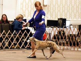 The 2018 American Whippet Club National Specialty, Baltimore MD