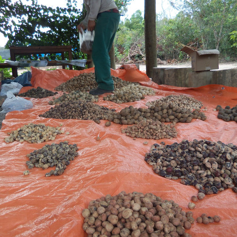 rede de coletores de sementes