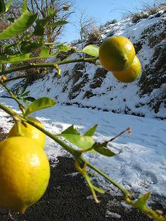Atypique innover citronnier