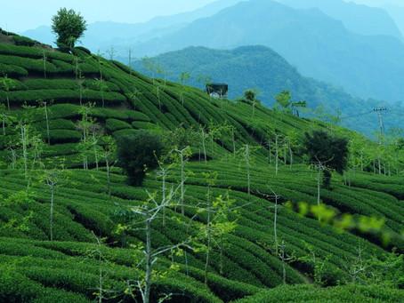 Alles was Sie über die Teeproduktion wissen müssen