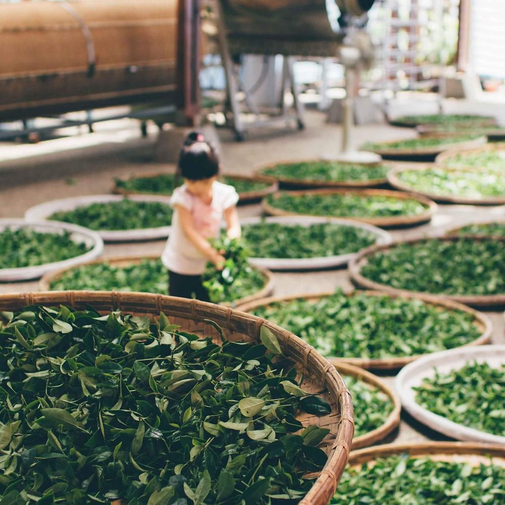 Teeproduktion in Vietnam. Tee wird in Körben getrocknet.