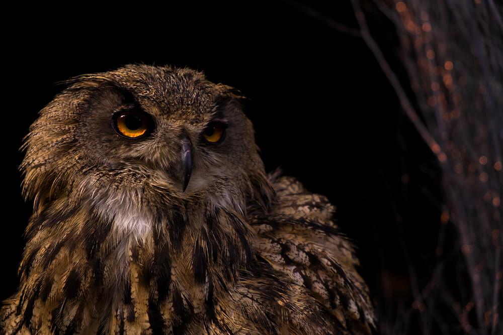 Scottish owl