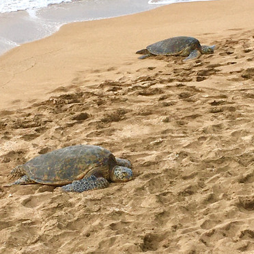 Sea Turtles are regular visitors to our beach.