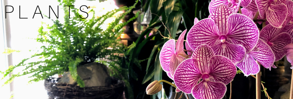 Indoor Plant, Plants, Flower shop, plant shop, live plants, living plants, blooming plants, green plants, orchids, figs, spaths, peace lilies, peace lily, fern, ferns