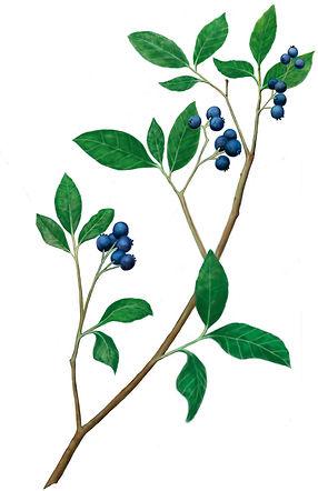 High_Bush_Blueberries.jpg