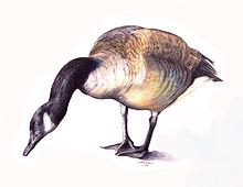 14. Canada Goose.jpg