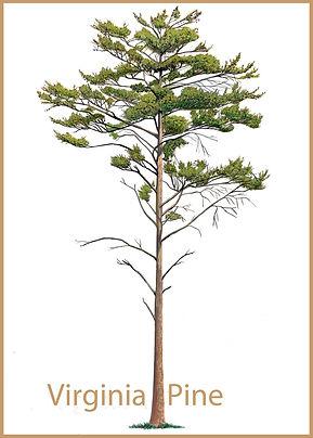 Virginia Pine LoRes.jpg