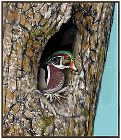 Wood Duck Nest with feathers (si).jpg