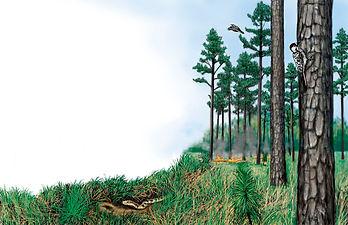 Longleaf Pine habitat (si).jpg