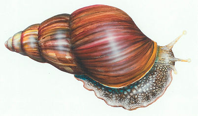Mollusks-Snail (si).jpg