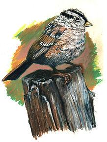 White-Crowned Sparrow 001.jpg
