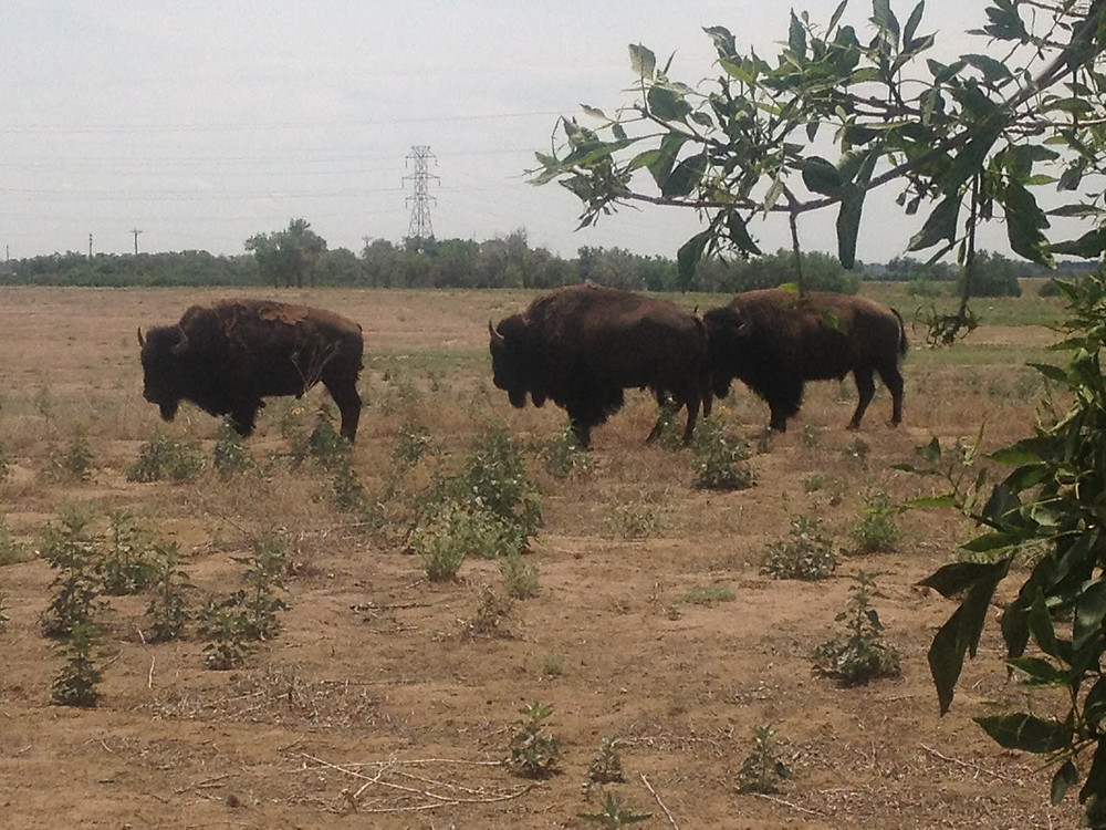 The buffalo at play at Rocky Mountain Arsenal. Photo by Mariah Wilkerson