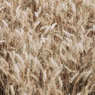 grain2_edited.jpg
