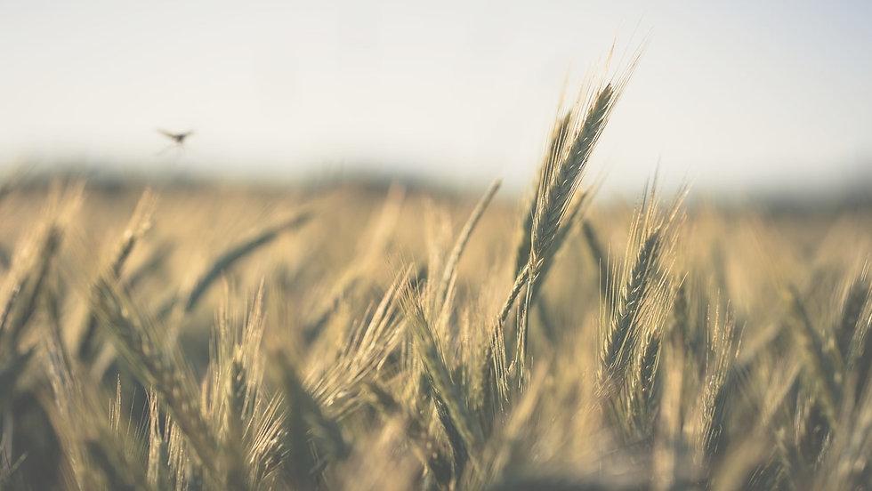 grain13_edited.jpg
